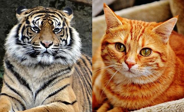 虎の画像 p1_26